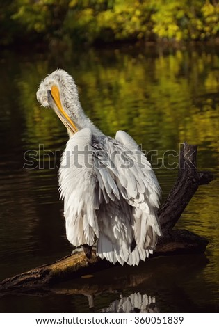 The white pelican Pelicans are a genus of large water birds that makes up the family Pelecanidae. They are characterised by a long beak and a large throat pouch used for catching prey. - stock photo