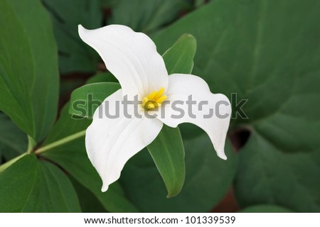 The white petals of a  large-flowered trillium are prominent against the leaf green background of the forest floor vegetation. - stock photo