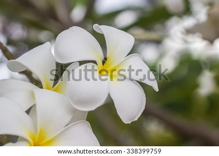 The white Plumeria flower on the green blur background