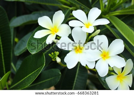 The White Plumeria with Leaves