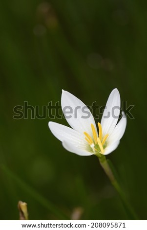 The white rain lily on shallow depth of filed background while rainy. - stock photo