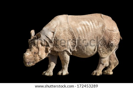 The white rhinoceros or square-lipped rhinoceros (Ceratotherium simum) is the largest and most numerous species of rhinoceros that exists