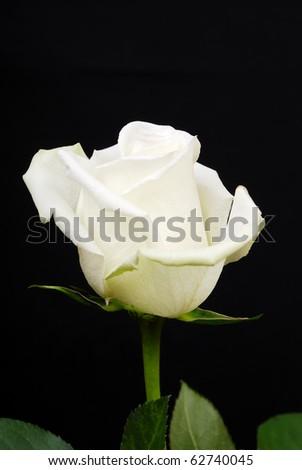 The white rose isolated on black background - stock photo