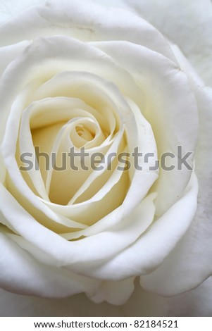 the white rose - the symbol of cleanness and purity - stock photo
