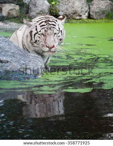 The white sad tiger looking his reflection in the water - stock photo