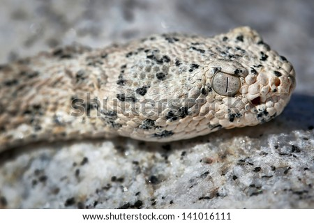 The WHITE Southwestern Speckled Rattlesnake (Crotalus mitchelli pyrrus) exists only in a single restricted mountain range. Amazingly well-camouflaged in the white granite in Arizona, USA. - stock photo