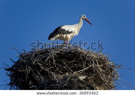 The White Stork (Ciconia ciconia) on the nest