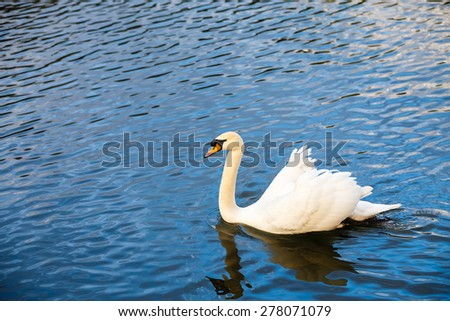 The white swan floats on a pond