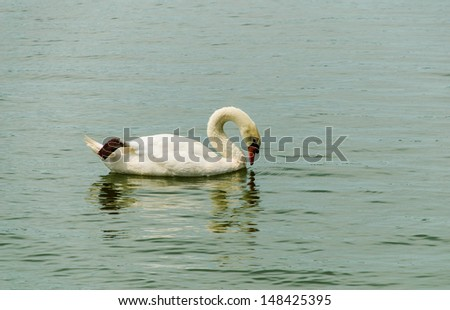 The white swan is swimming in look that beautiful