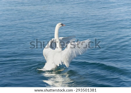 The white swan on the lake flaps wings