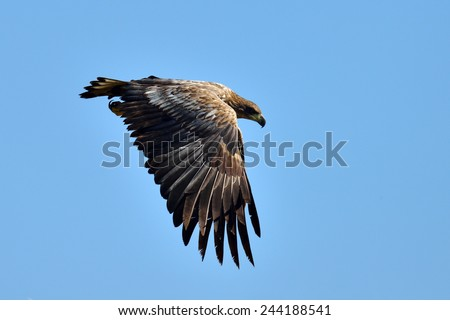 The white-tailed eagle flying (Haliaeetus albicilla)  - stock photo