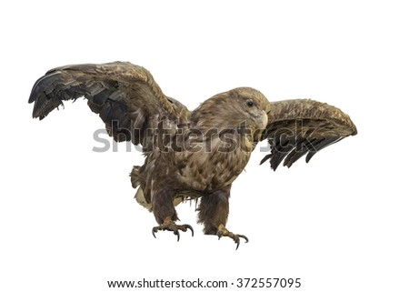 The white-tailed eagle is a very large bird. Clipping path on the white background