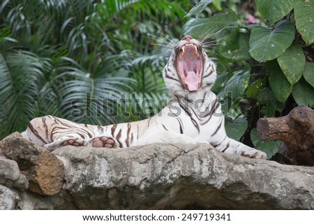 the white tiger growls. big canines. Tiger's Mighty Roar. - stock photo