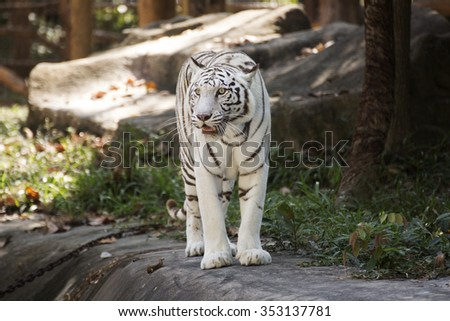 The White Tiger walking and looking something - stock photo