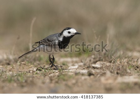 The white wagtail - stock photo