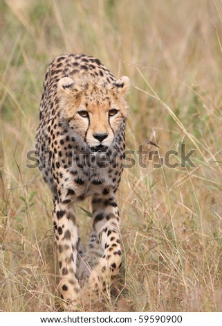 The wild cheetah - stock photo
