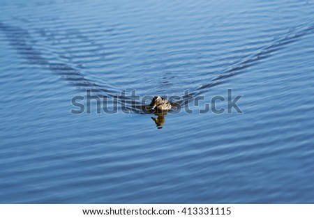 The wild duck floats on water ripples. - stock photo
