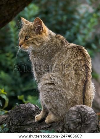 The wildcat (Felis silvestris)      - stock photo