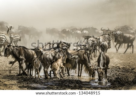 the wildebeest migration that run in the background of sand savanna - stock photo