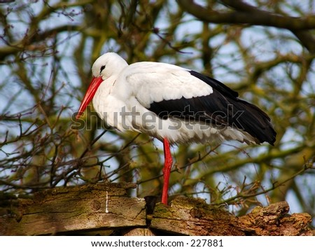 The wildlife bird reserve in the city of Knokke in belgium. A stork in nest. - stock photo