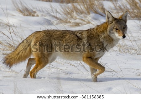 The wildlife of suburban Denver, Colorado at Cherry Creek State Park - coyote in winter.