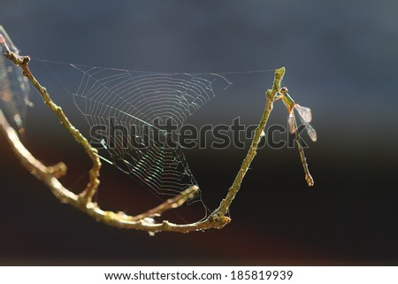 The Willow Emerald Damselfly or the Western Willow Spreadwing (Chalcolestes viridis, formerly Lestes viridis), backlit with a spiderweb - stock photo