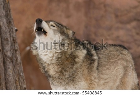 The wolf howls in a wood from a cold - stock photo