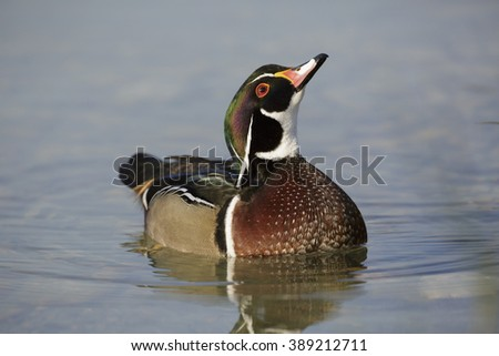 The wood duck - stock photo