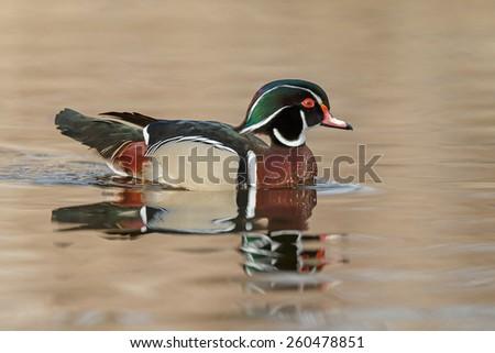 The wood duck or Carolina duck (Aix sponsa) - stock photo