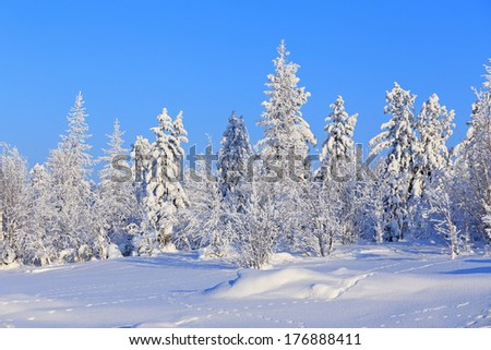 The wood in the winter in Siberia in the sunny day - stock photo