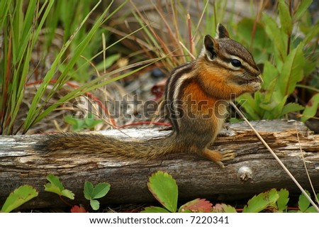 The world's most adorable chipmunk sitting  on a decaying log and eating fruits, nuts or berries - stock photo