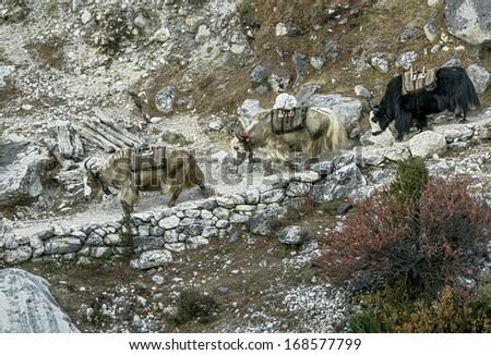 The yak caravan on the trek to the Everest - Nepal, Himalayas - stock photo