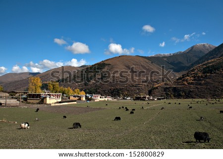 the yaks and sheep eating grass under the autumn sunshine.