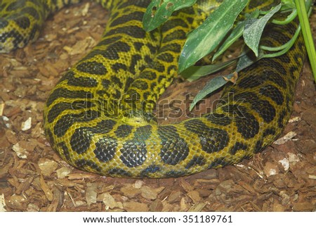 The yellow anaconda (Eunectes notaeus), is a kind from the family of boas (Boidae)