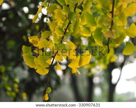 The yellow autumn leaves