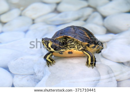 The yellow-bellied slider (Trachemys scripta scripta) is a land and water turtle belonging to the family Emydidae - stock photo