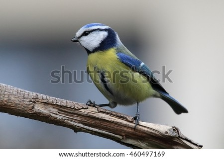 The yellow bird, titmice on the branch