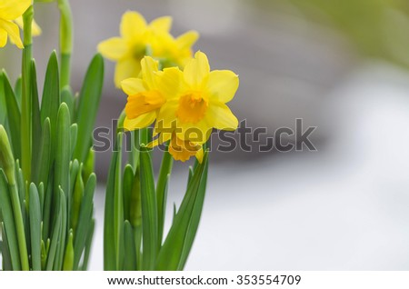 The yellow daffodil (Narcissus) also known as the daffodil. - stock photo