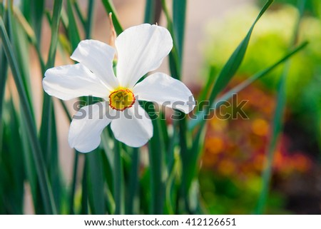 The yellow daffodil (Narcissus) also known as the daffodil. Daffodil in the garden. Natural flower daffodils growing in the garden. Lonely yellow narcissus on green background.  - stock photo