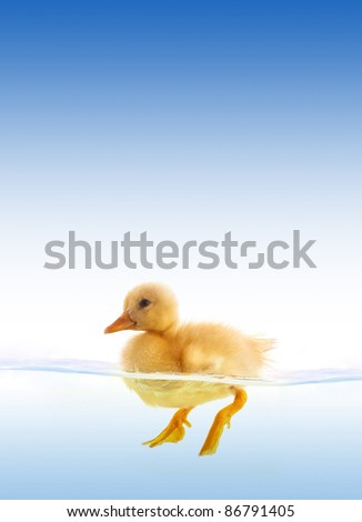The yellow duckling swimming isolated on a white background