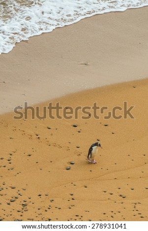The Yellow-eyed Penguin Megadyptes Antipodes. Rarest penguin in the world native to New Zealand, Otago  - stock photo