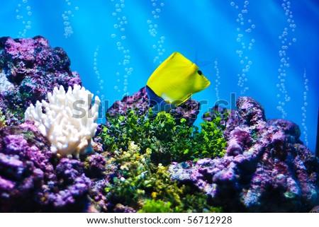 The Yellow Longnose Butterflyfish (Forcipiger flavissimus) - stock photo