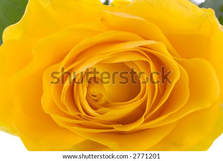 the yellow rose on white background macro