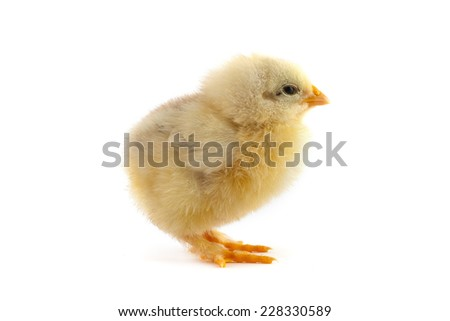 The yellow small chick isolated on a white background - stock photo