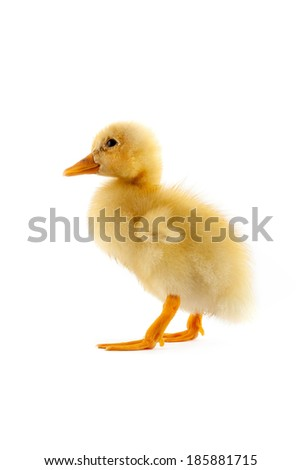 The yellow small duckling isolated on a white background - stock photo