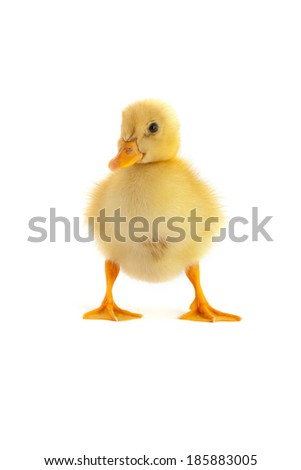 The yellow small duckling isolated on a white background