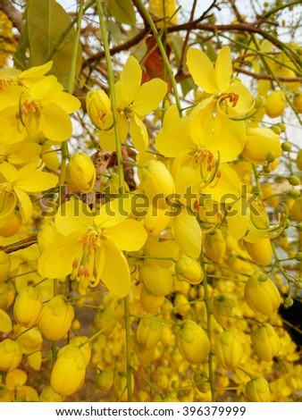 the Yellow trumpet flower or Yellow rachawadee flower and blue sky backgrounds