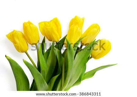 The yellow tulips are isolated on a white background