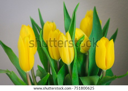 The yellow tulips in the gray background.
