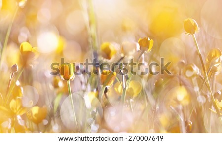 The yellow  wildflowers of a buttercup on a meadow lit with the sun. - stock photo